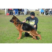 Cachorros Ovejero Aleman Con Pedigree