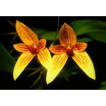 Muda De Orquídea Bulbophyllum Pardalotum Adulta