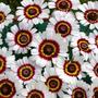 Semillas Crisantemos Tricolor