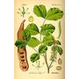20 Semillas Algarrobo Europeo. Ceratonia Silicua.
