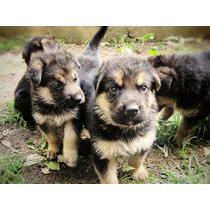 Cachorros Ovejero Aleman 45 Dias