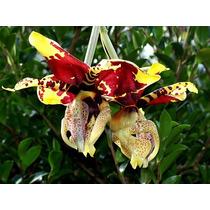 Venta De Orquídeas Stanhopea Tigrina
