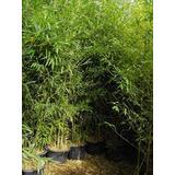 Plantas De Cañas De Bambú Y Tacuara De Cultivo Por Planta