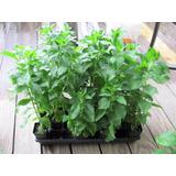 Stevia Sementes Para Mudas