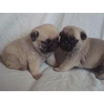 Vendo Filhotes De Pug Fêmea