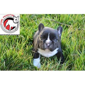Bulldog Francês Filhote Macho Com Pedigree Cbkc
