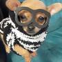 Cachorros Chihuahuas Cabeza De Venado Y Manzana