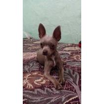 Chihuahua Blue Para Cruza