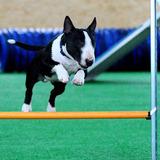 Bull Terrier Curso Adestramento Video Ebook Frete Gratis