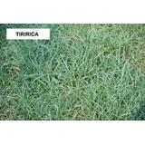 Herbicida P/ Gramado Mata Tiririca, ( Sempra ) 10 Gramas