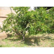 Árboles Frutales Manzanos, Ciruelos, Chabacanos, Duraznos...