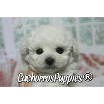 Cachorros Caniche Míni Micro Toy Machos Y Hembras