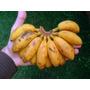Banana Oro Orito Plantines De Frutales Maceta Tropicales