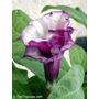 50 Sementes De Datura Metel (saia-roxa) - Planta Exótica