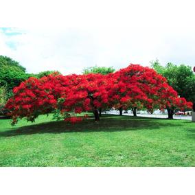40 Sementes De Flamboyant Vermelho