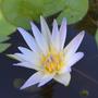Nenúfar Azul Nymphaea Sp Daubeyana Lirio Acuático