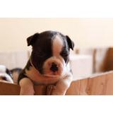 Cachorros Boston Terrier Raza Pura