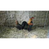 Gallos Miniatura Diferentes Lineas