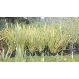 Formios Variegados Púrpuras Y Verdes Plantas Árboles Arbusto