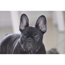 Fêmea Bulldog Frances Excelente Filhote Pedigree Cbkc