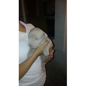 Pitbull American Bully Blue Xl