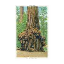 Big Basin, California, The Animal Tree Print, 24 X36