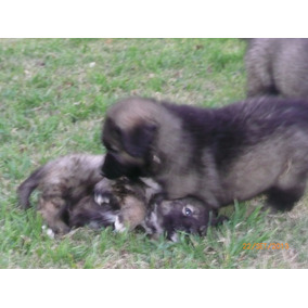 Cachorros Pastor Del Caucaso(reserva Tu Cachorro)