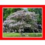300 Sementes Frescas Kiri Paulownia Tomentosa Princess Tree