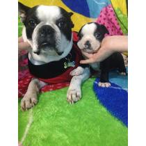 Filhotes De Boston Terrier Macho Linhagem Importada Do Japão