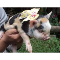 Mini Porco ..excelente Linhagem ..filhotes Fêmeas ..