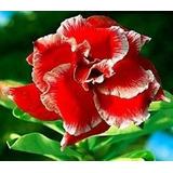 10 Sementes De Rosa Do Deserto( Adenium Obesum )mix De Cores