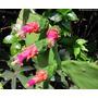 06 Mudas De Cacto Palma Doce - Opuntia Cochenillifera