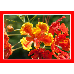 Flamboyant Mirim Vermelho Cerca Viva 15 Sementes P/ Mudas