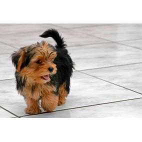 Filhotes Micro De Yorkshire Terrier. Pronta Entrega!