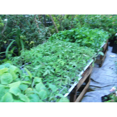 Plantines Huerta Organica Docena Envios Consulte