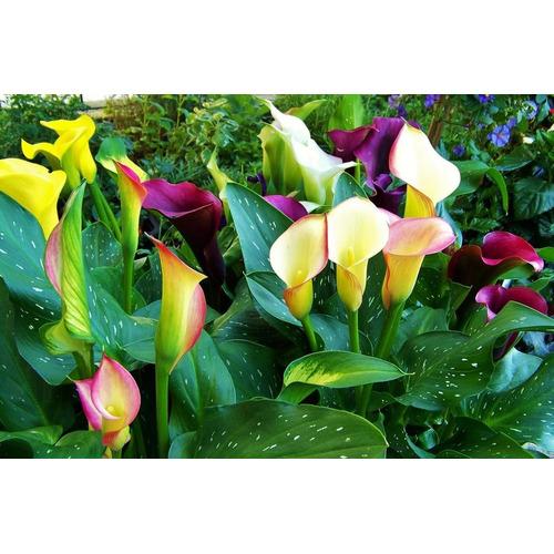 Sobre Para Sembrar 15 Plantas Cartuchos O Calas De Colores