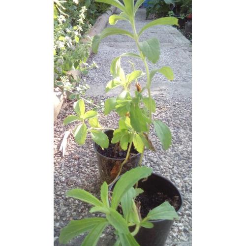Stevia Planta Estevia Endulzante Natural