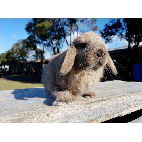 Vendo Hermosos Conejos Enanos Holland Lop Consultar Disponi