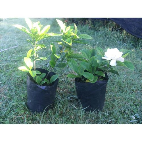 Jazmin Del Cabo Jazminero Muy Buena Calidad Floral Perfume