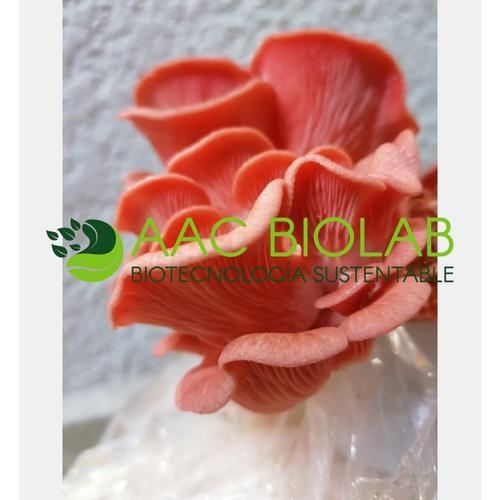 Micelio Semilla Para La Producción De Hongo Seta Rosa (1kg)