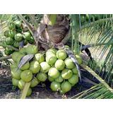 10 Mudas De Coqueiro Coco Anao Verde Viveiro Certificado