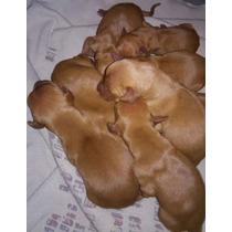 Vendo Cachorros Vizsla Puros... Madre Y Padre Cazadores