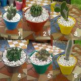 Cactus Grandes (maceta 12) Cultivos Allucgardens