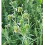 Cenaless Plantago Psyllium Planta P/ Emagrecer Sementes