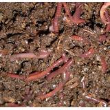 100 Matrizes Minhocas Californianas- Isca/compostagem+manual