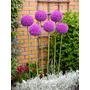 Sementes Allium Giganteum Plantas Ornamentais + Brindes