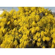Mimosa Amarilla (acacia Baileyana) Semillas