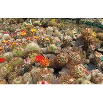 600 Semillas De Cactus A Elección