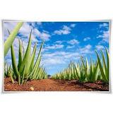 Aloe Vera Barbadensis (sabila)hojas - Y Plantas