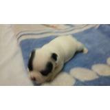 Macho De Bulldog Francês Branco E Preto